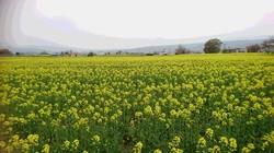 菜の花畑 満開