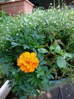 マリーゴールド鉢植え