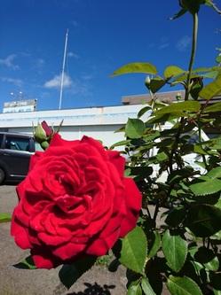 真紅の薔薇 アップ