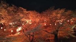 懐古園 夜桜1